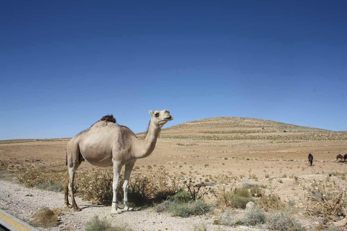 Cammello in Giordania