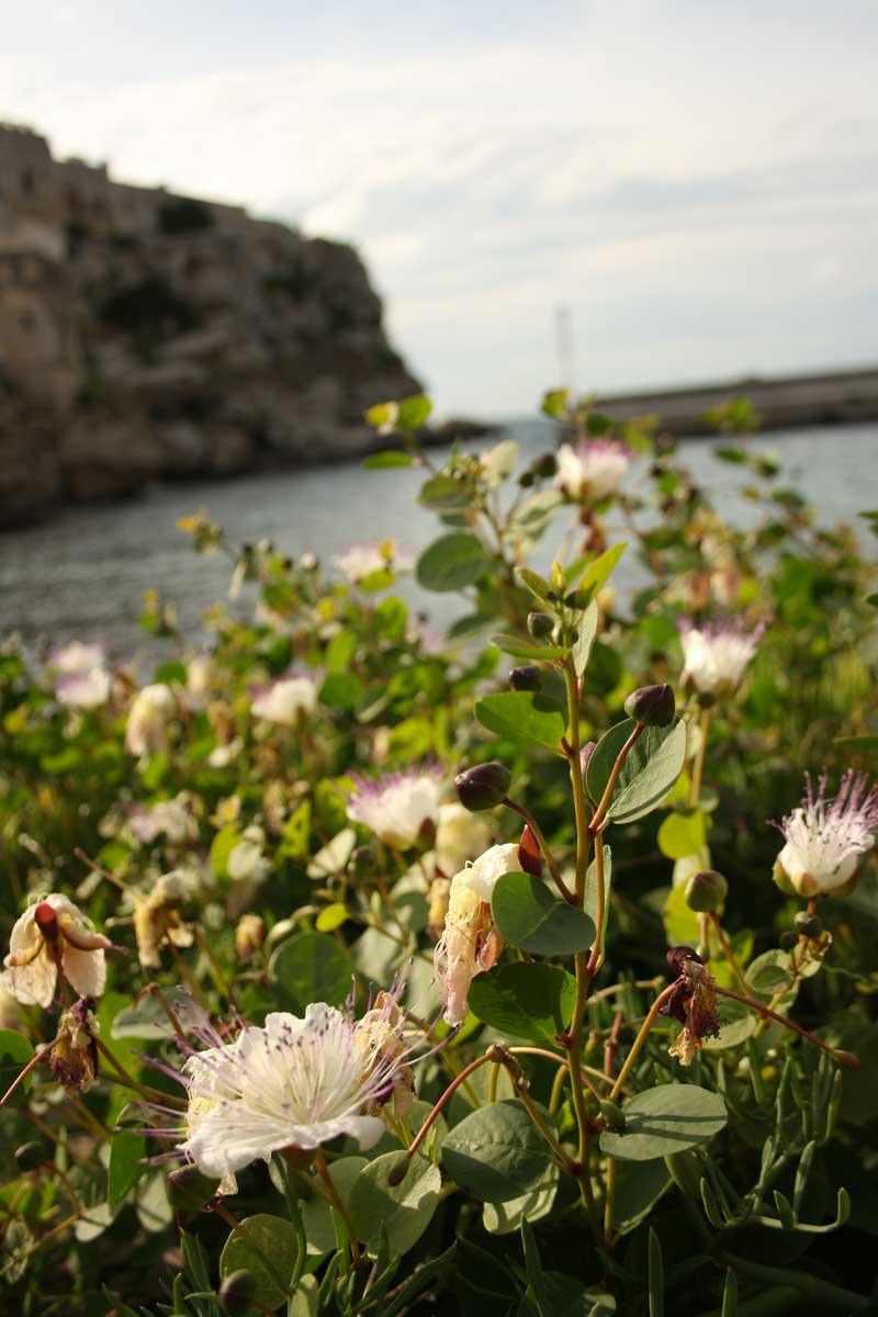 I caraibi in Toscana: l'isola di Pianosa, capperi