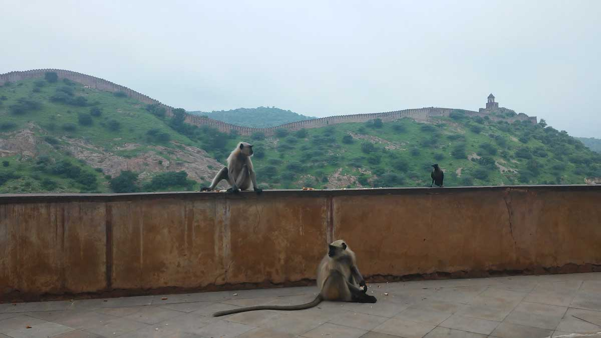Amber Fort , scimmie