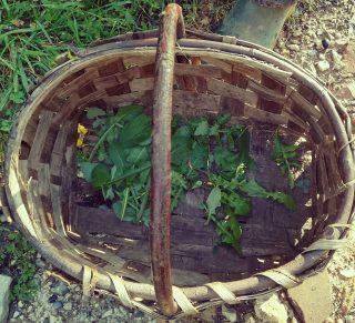 Calci: passione e tradizioni, passeggiata con le erbe selvatiche